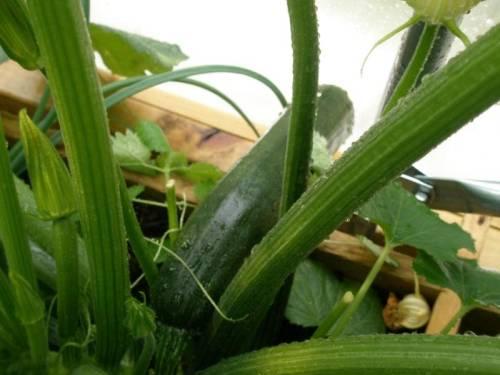 Кабачки выращивание в горшке 42