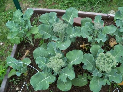 Как вырастить рассаду капусты в 1