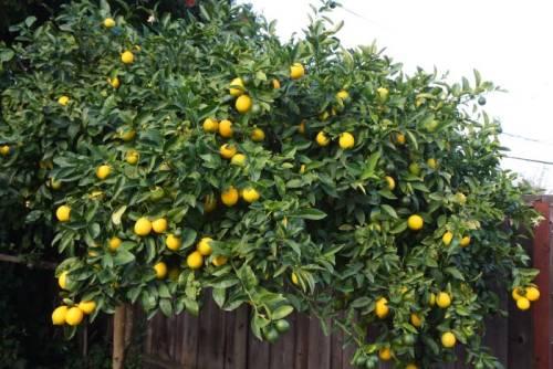 Лимонник китайский домашних условиях