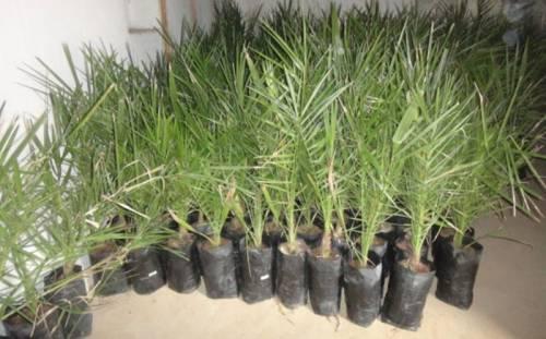 Как вырастить в домашних условиях пальму из финиковой косточки
