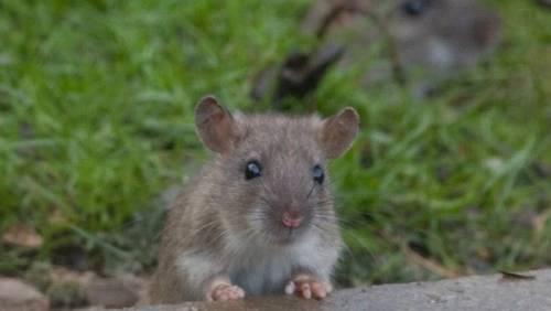 Садовая мышь