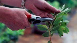 Как посадить черенки
