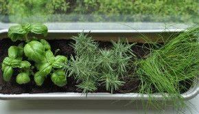 Выращиваем на балконе