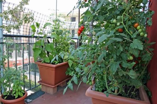 Выращиваем на балконе.