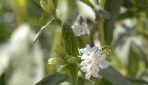 Выращивание стевии и уход за ней