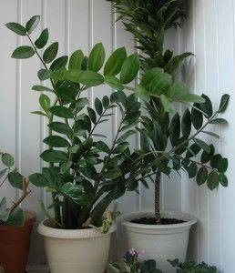 Долларовое дерево - выращивание и уход