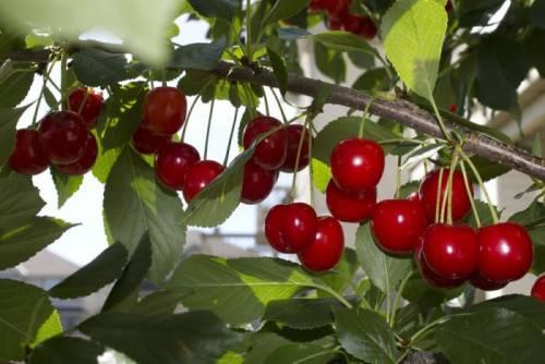 Выращивание черешни в омске 84