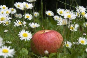 характеристика сортов яблонь