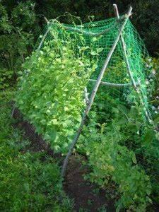 фасоль выращивание и уход