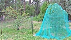 выращивание черешни защита от птиц
