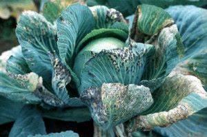 Болезни белокочанной капусты