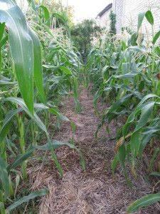 Сахарная кукуруза выращивание