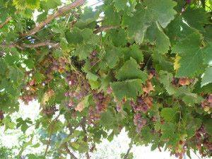 Выращивание винограда начинающими