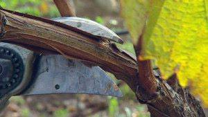 как обрезать и укрыть виноград