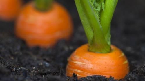 Морковь выращивание и уход