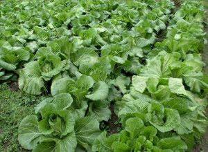 Безрассадное выращивание капусты