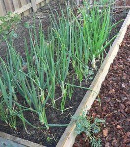 Выращивание лука в открытом грунте