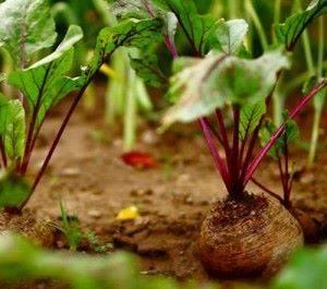 Технология выращивания свеклы
