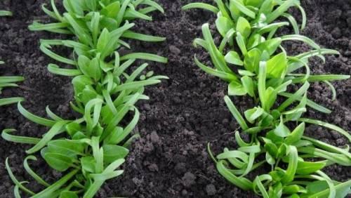 Когда сеять шпинат