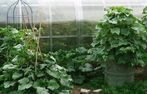 Кустовые огурцы выращивание