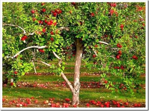 В каком месте лучше всего садить яблоню?