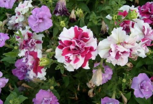 цветы из рассады