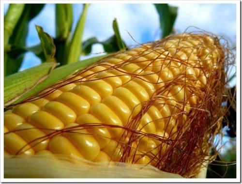 Чем полезна кукуруза?