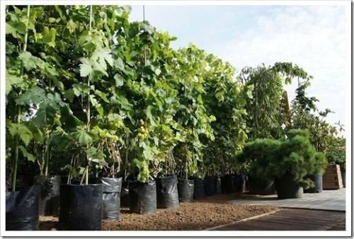 Рекомендации для получения богатого, сочного и крупного урожая винограда