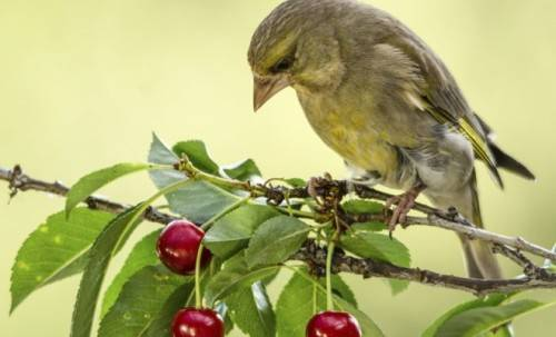 птицы клюют черешню