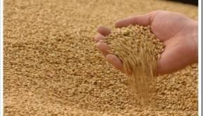Почему частные посредники при продаже зерна остаются на плаву?