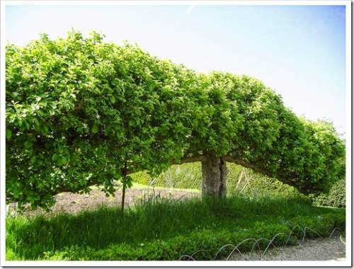 Формирование крон плодовых деревьев