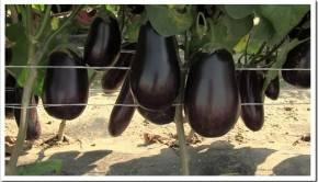 Ошибки при выращивании баклажанов