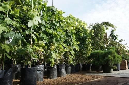 В каком питомнике можно купить саженцы винограда