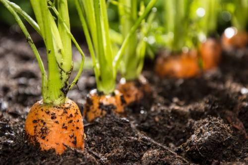 Как выращивать морковь <br> <br>