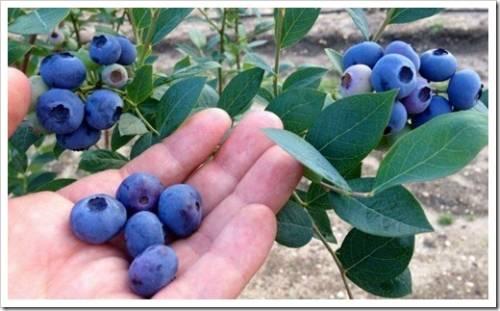 Воздушность почвы и мульчирование растения