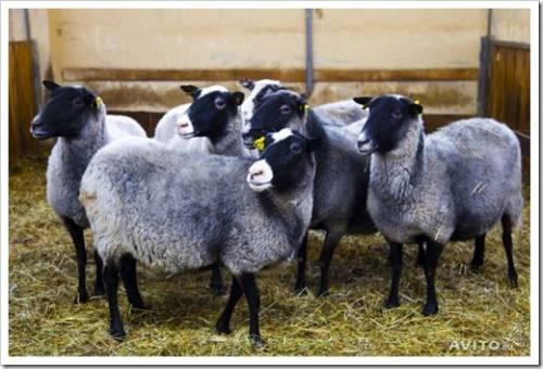 Преимущества выбора овец в фермерском хозяйстве «Юрьевское»