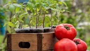 Как посадить семена помидор