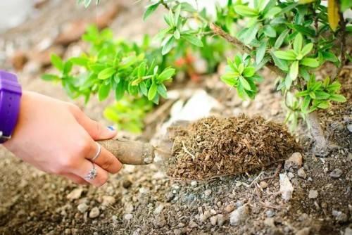 Чем подкормить плодовые кустарники осенью