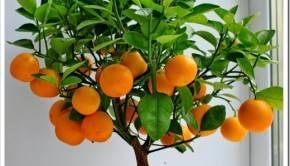 Уход за цитрусовыми комнатными растениями