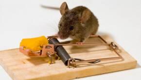 Как уничтожить мышей в квартире