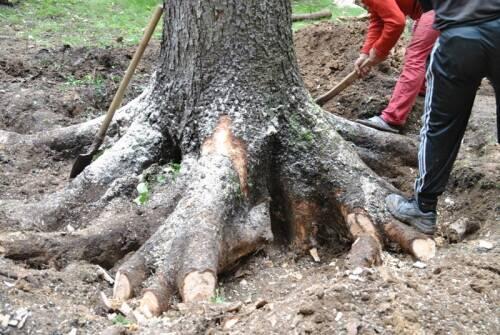 Как удалить корни деревьев
