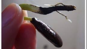 Подготовка горшка для проращивания косточки