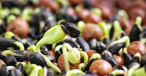 Как прорастить семена подсолнечника в домашних условиях