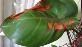 Почему коричневеют листья у цветов