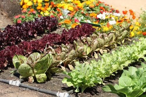 Как правильно совмещать посадку овощей