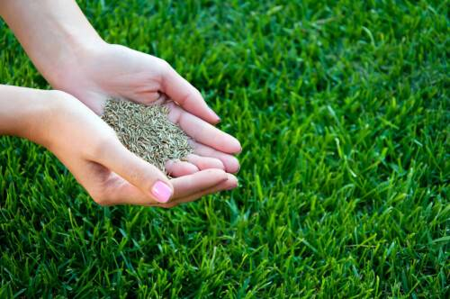 Семена газонной травы