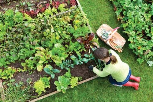 Что посадить в огороде из зелени