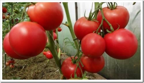 От чего зависит сладость помидор?