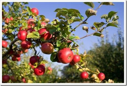 Посадка яблони: пошаговое руководство